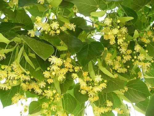 Cartas de Baires: A árvore que também é musa